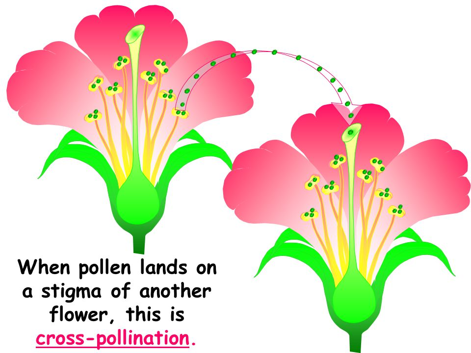 When pollen lands on a stigma of another flower, this is cross-pollination.