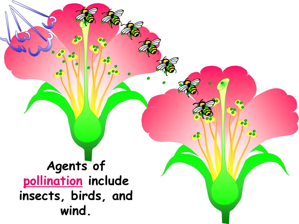 Agents of pollination include insects, birds, and wind.