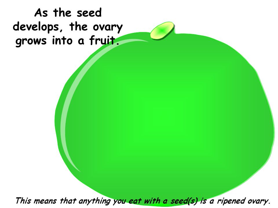 As the seed develops, the ovary grows into a fruit.