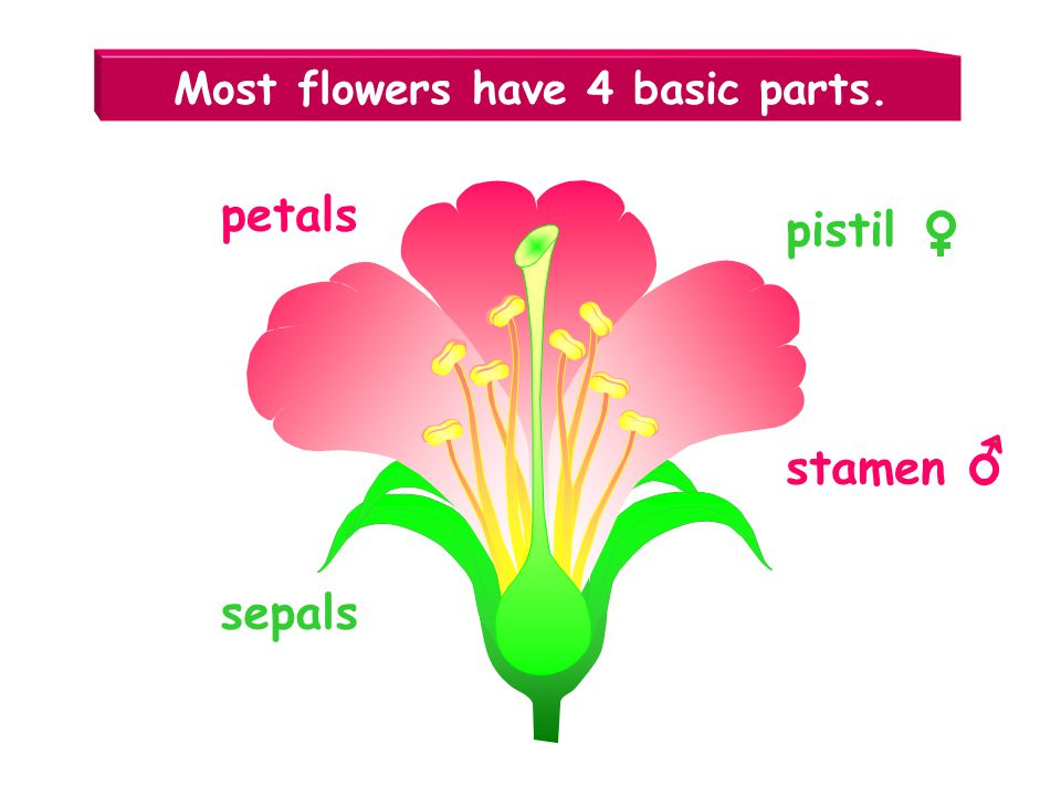 Most flowers have 4 basic parts.