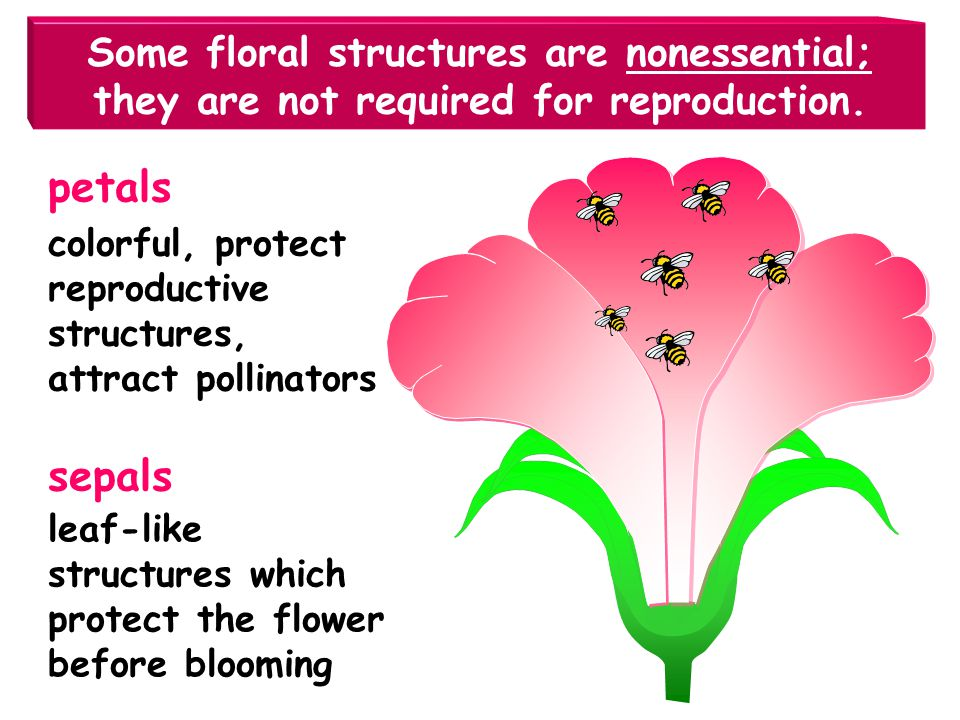 Some floral structures are nonessential; they are not required for reproduction.