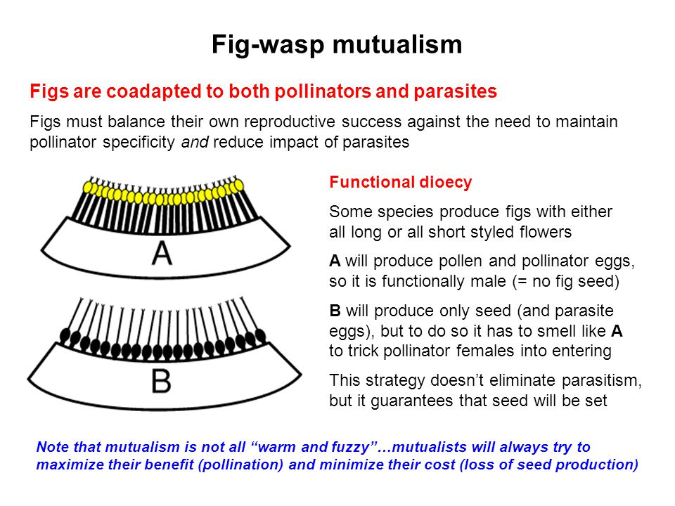 Fig-wasp mutualism Figs are coadapted to both pollinators and parasites.