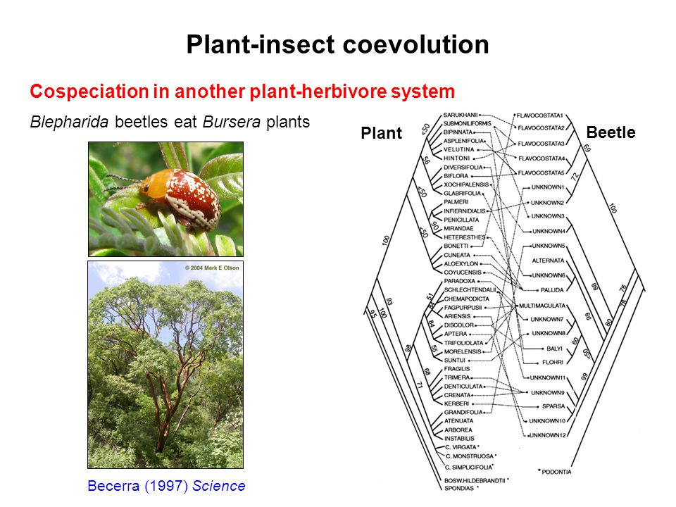 Plant-insect coevolution