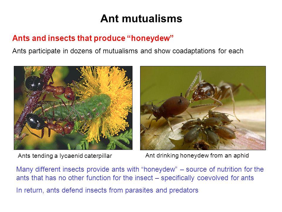 Ant mutualisms Ants and insects that produce honeydew