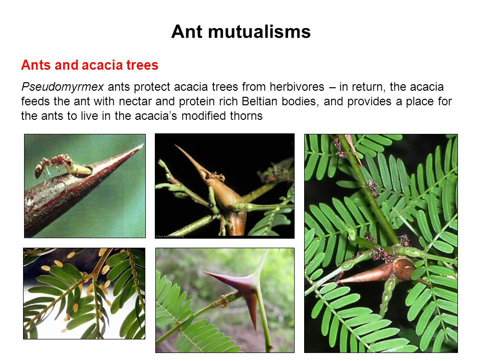 Ant mutualisms Ants and acacia trees