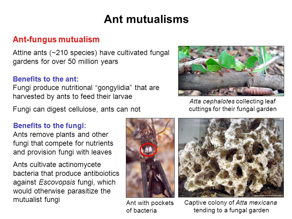 Ant mutualisms Ant-fungus mutualism