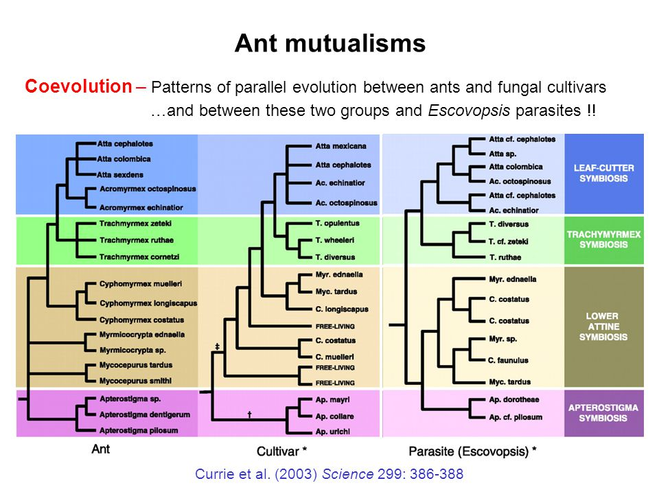 Ant mutualisms Coevolution – Patterns of parallel evolution between ants and fungal cultivars.