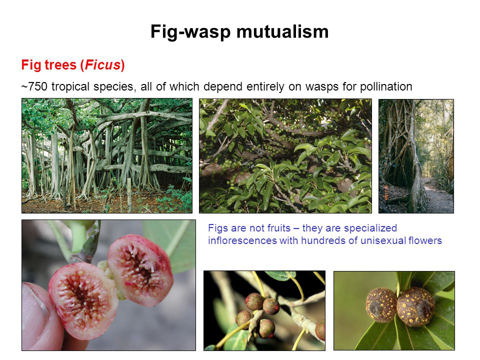 Fig-wasp mutualism Fig trees (Ficus)