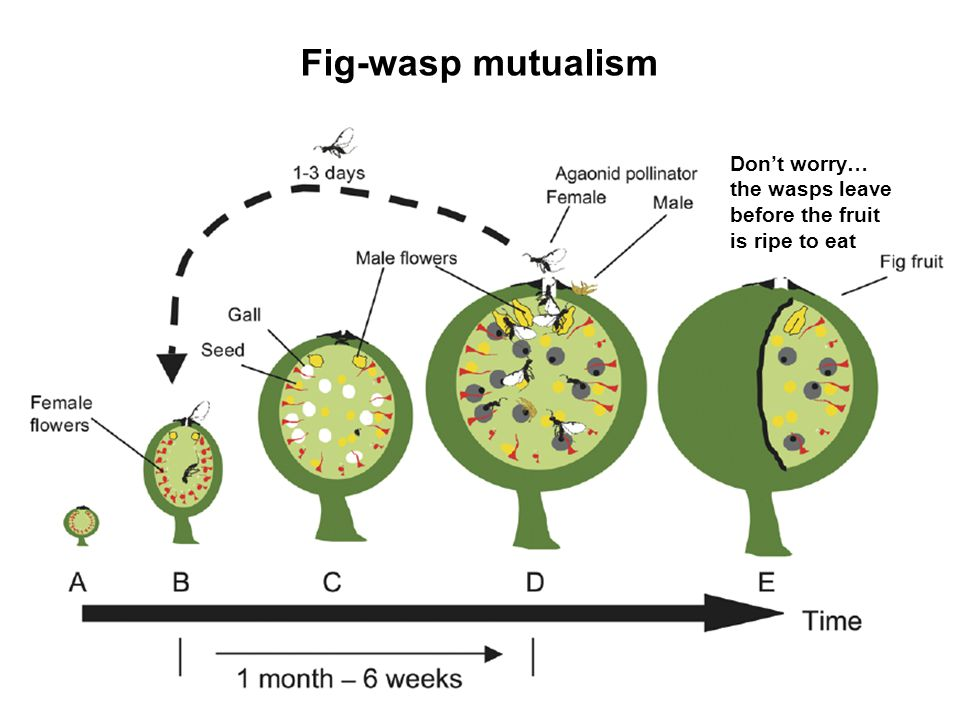 Fig-wasp mutualism Don't worry… the wasps leave before the fruit