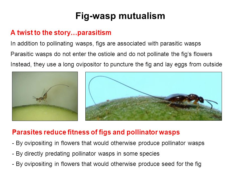 Fig-wasp mutualism A twist to the story…parasitism