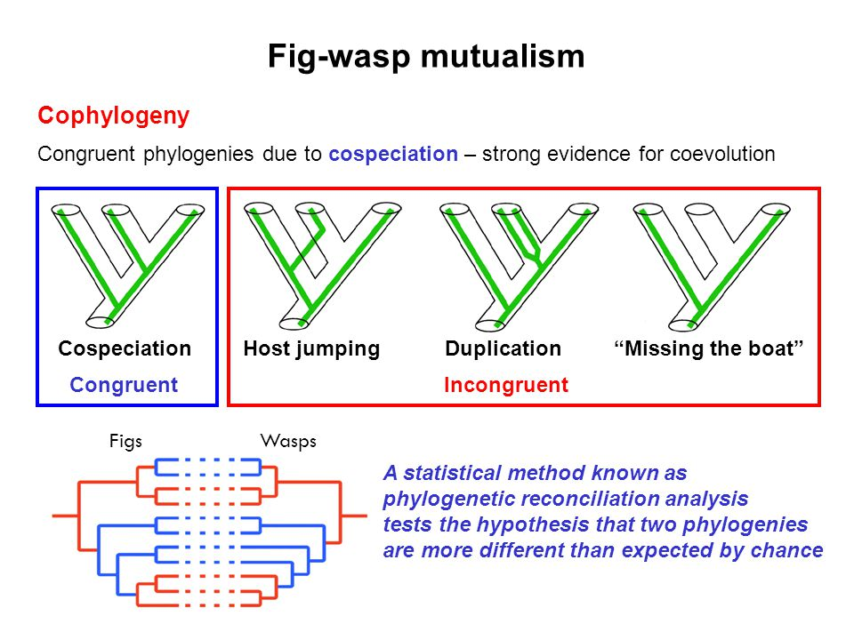 Fig-wasp mutualism Cophylogeny