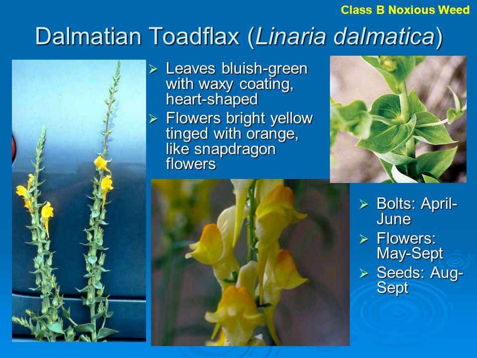 Dalmatian Toadflax (Linaria dalmatica)