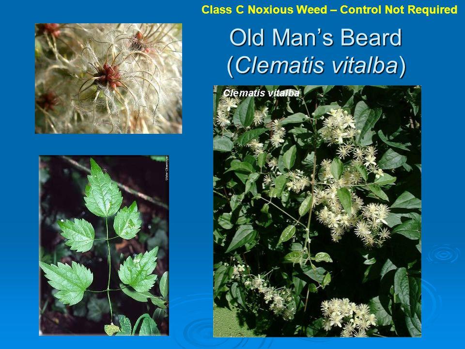 Old Man's Beard (Clematis vitalba)