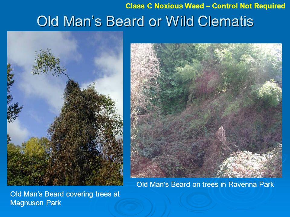 Old Man's Beard or Wild Clematis
