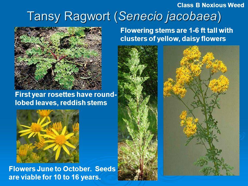 Tansy Ragwort (Senecio jacobaea)