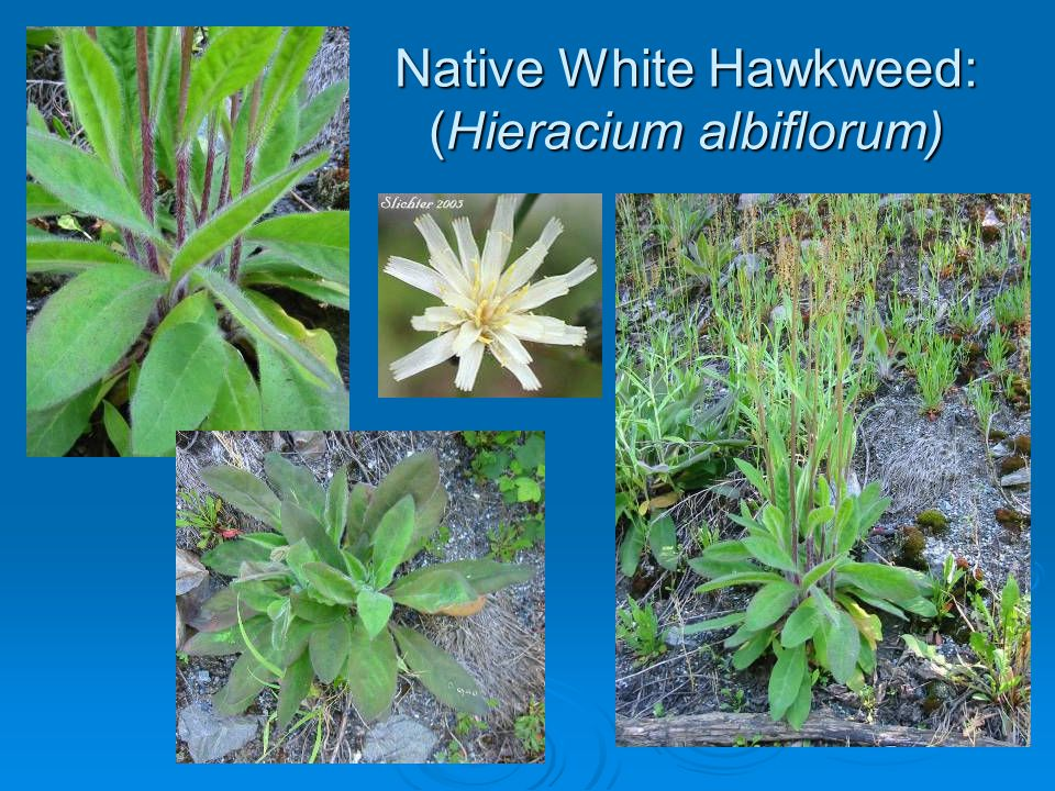 Native White Hawkweed: (Hieracium albiflorum)