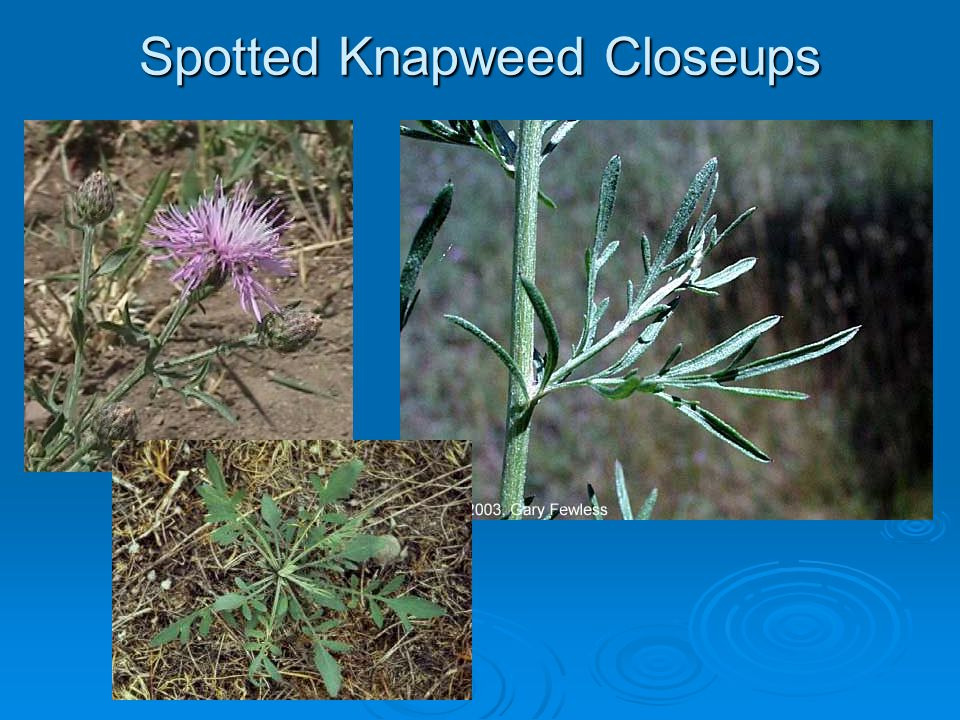Spotted Knapweed Closeups