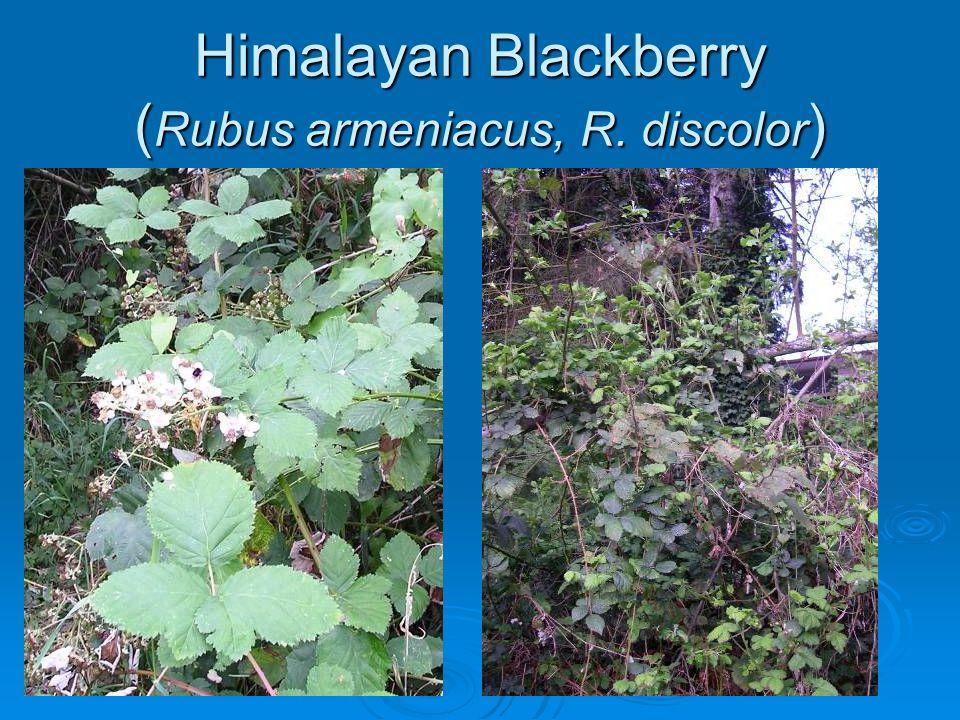 Himalayan Blackberry (Rubus armeniacus, R. discolor)