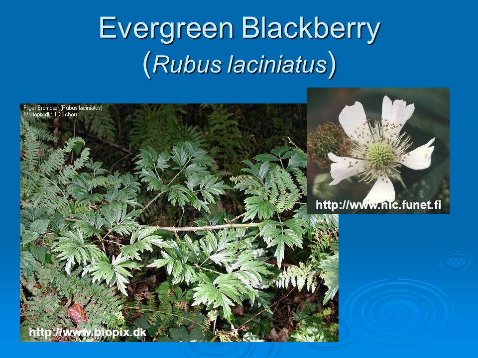 Evergreen Blackberry (Rubus laciniatus)