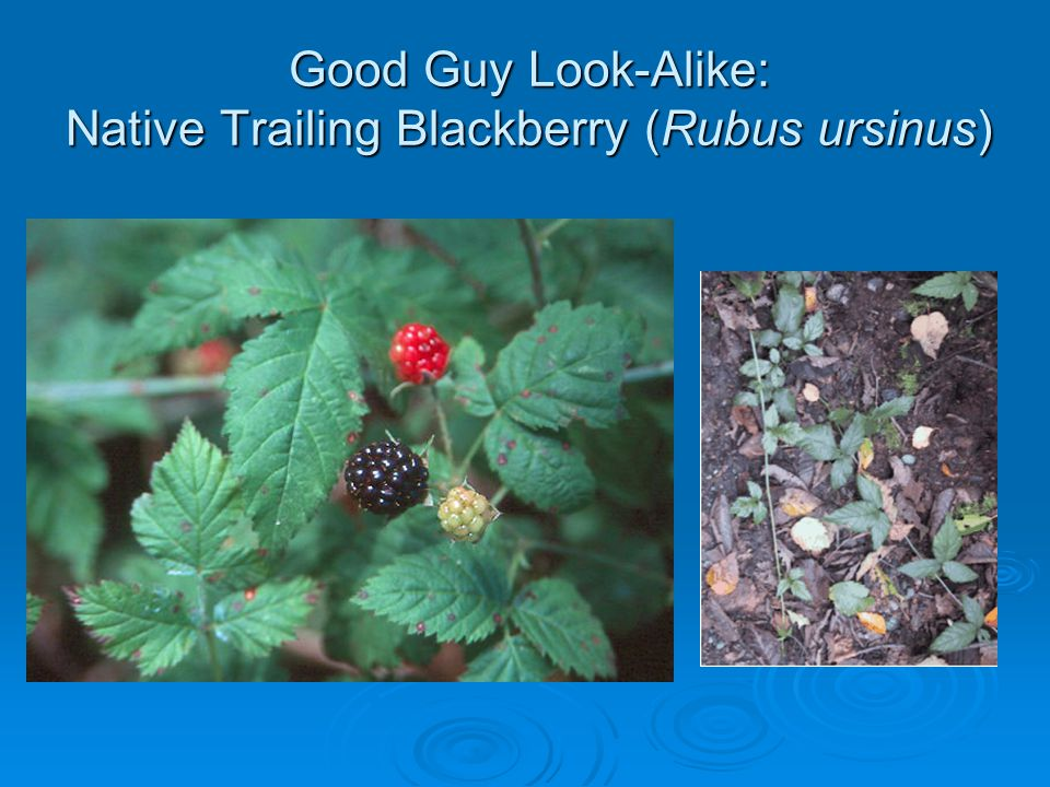 Good Guy Look-Alike: Native Trailing Blackberry (Rubus ursinus)