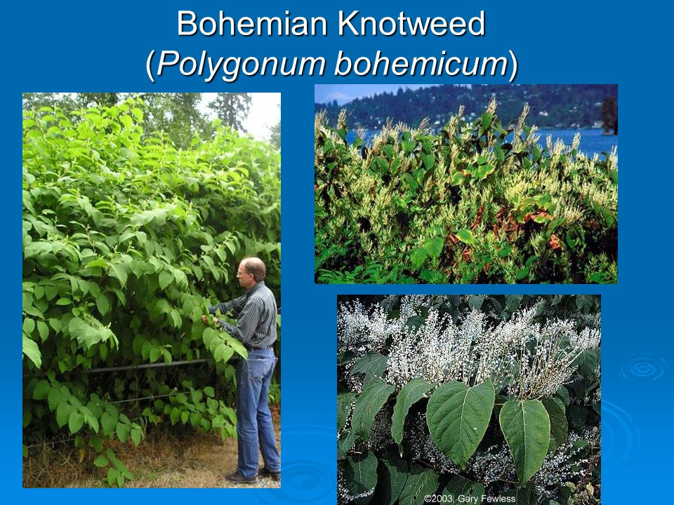 Bohemian Knotweed (Polygonum bohemicum)