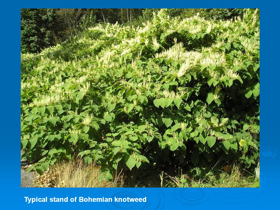 Typical stand of Bohemian knotweed