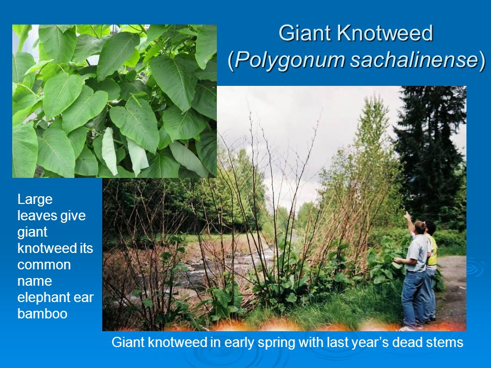 Giant Knotweed (Polygonum sachalinense)