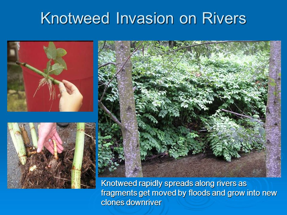 Knotweed Invasion on Rivers