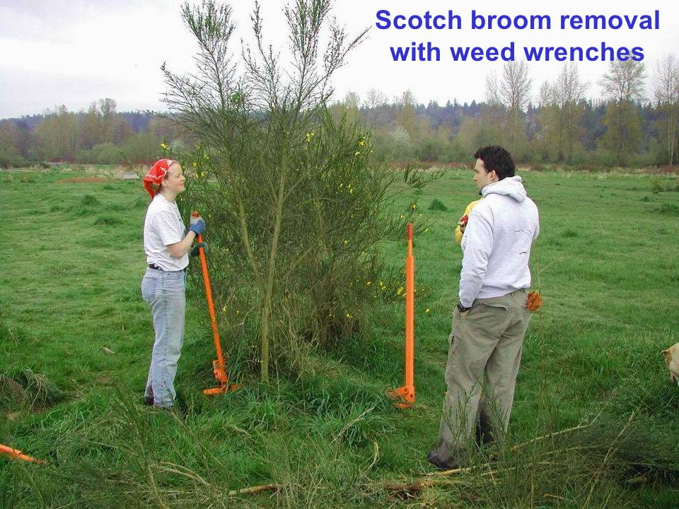 Scotch broom removal with weed wrenches