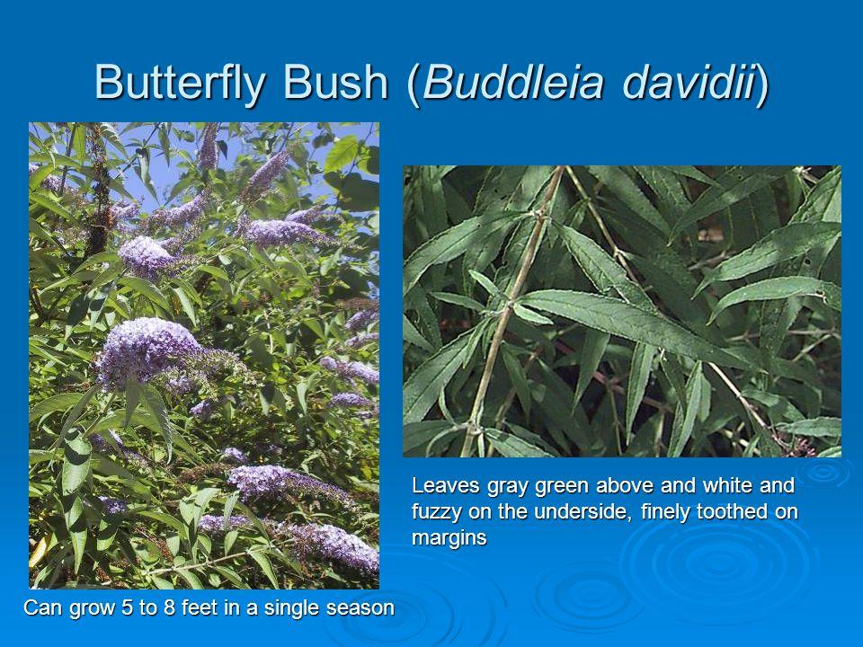 Butterfly Bush (Buddleia davidii)