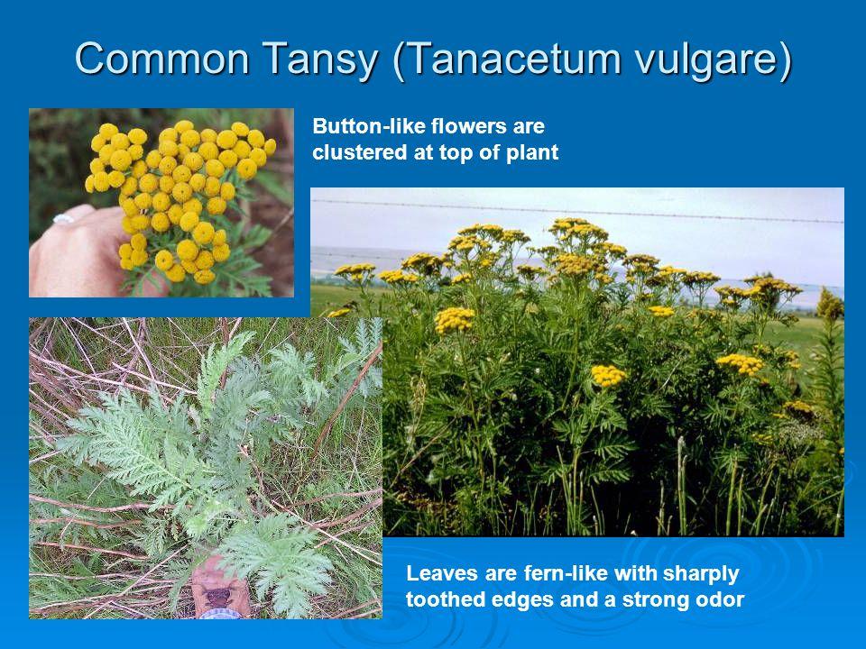 Common Tansy (Tanacetum vulgare)