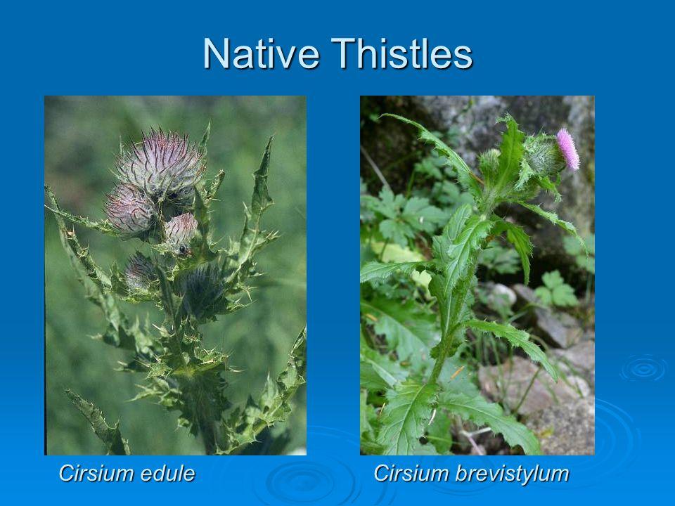 Native Thistles Cirsium edule Cirsium brevistylum