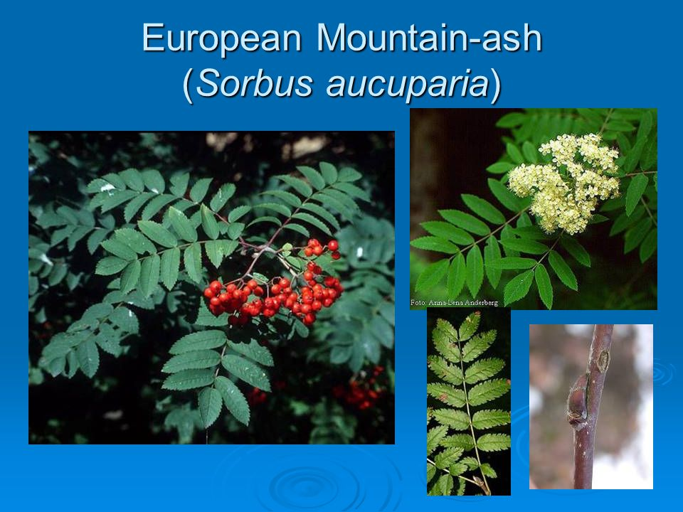European Mountain-ash (Sorbus aucuparia)