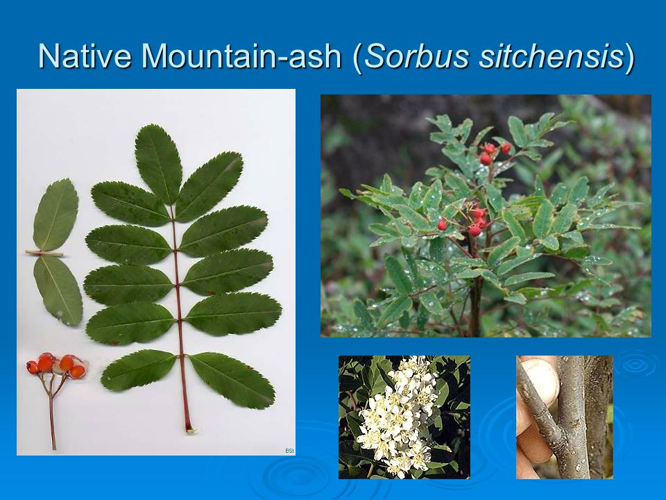 Native Mountain-ash (Sorbus sitchensis)