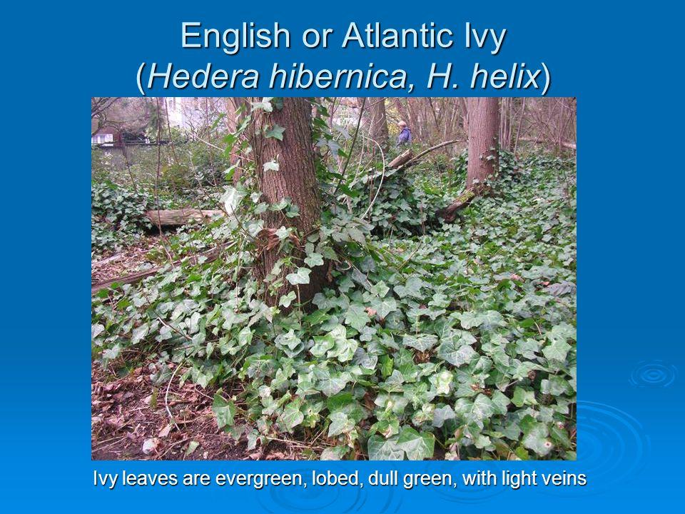 English or Atlantic Ivy (Hedera hibernica, H. helix)