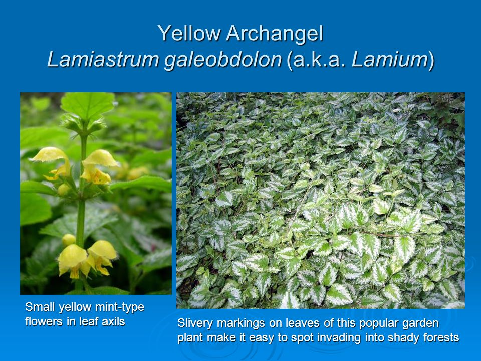 Yellow Archangel Lamiastrum galeobdolon (a.k.a. Lamium)