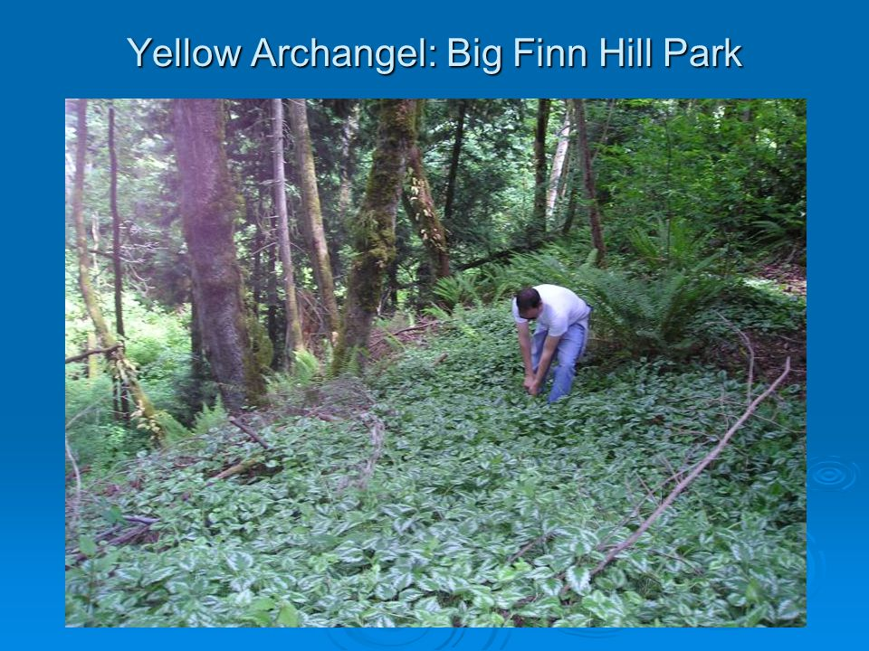 Yellow Archangel: Big Finn Hill Park
