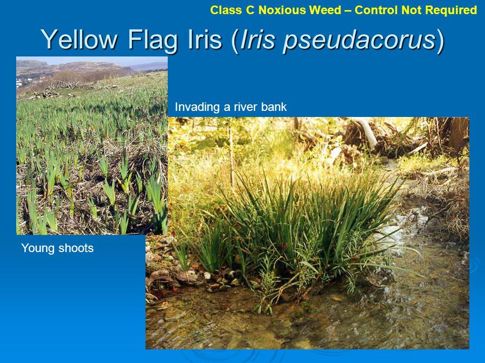 Yellow Flag Iris (Iris pseudacorus)