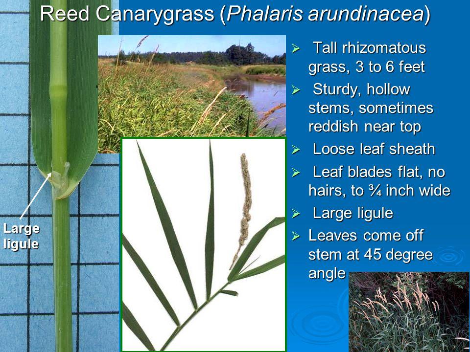 Reed Canarygrass (Phalaris arundinacea)