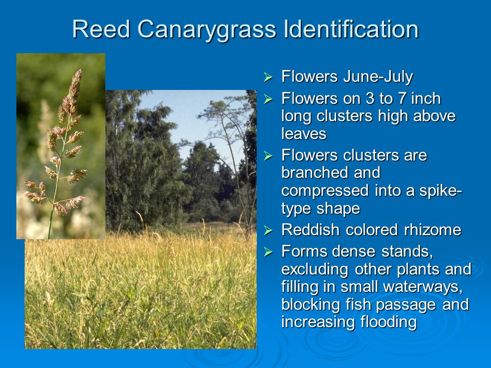 Reed Canarygrass Identification