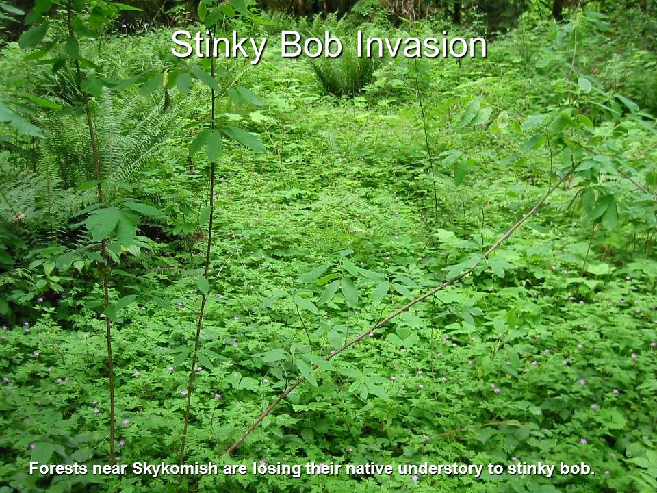 Stinky Bob Invasion Forests near Skykomish are losing their native understory to stinky bob.