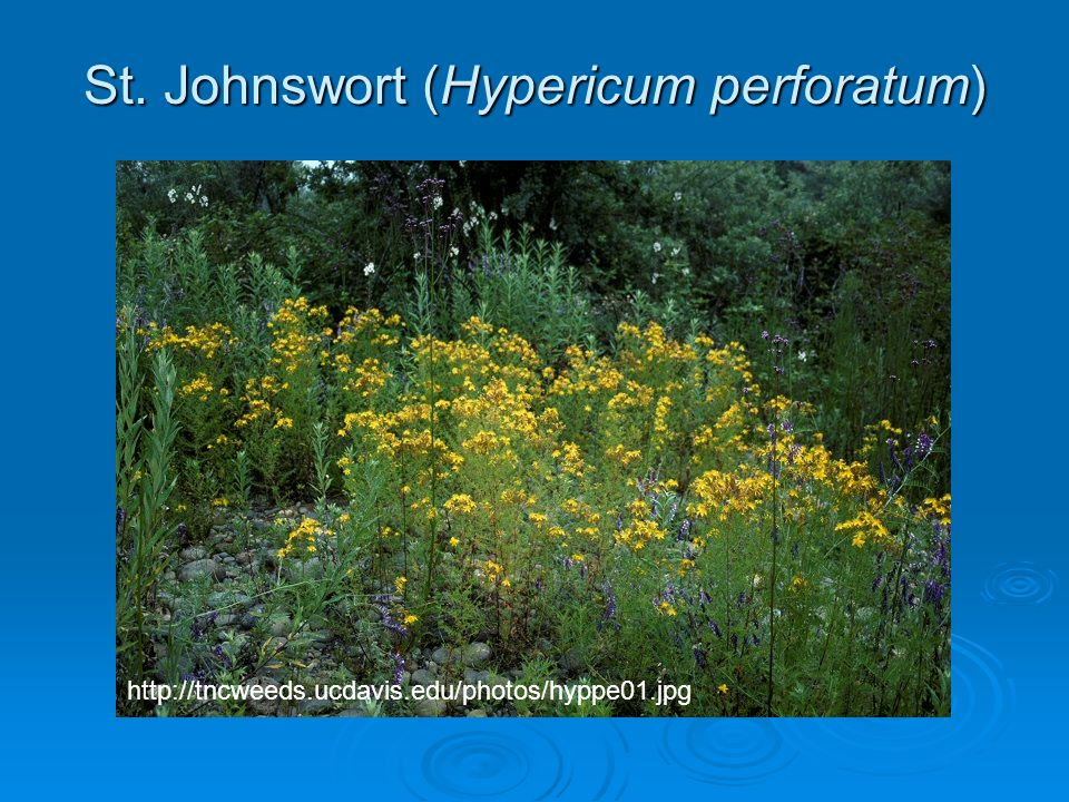 St. Johnswort (Hypericum perforatum)