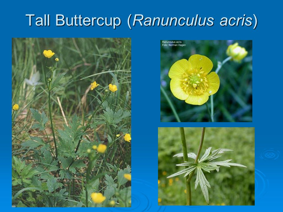 Tall Buttercup (Ranunculus acris)