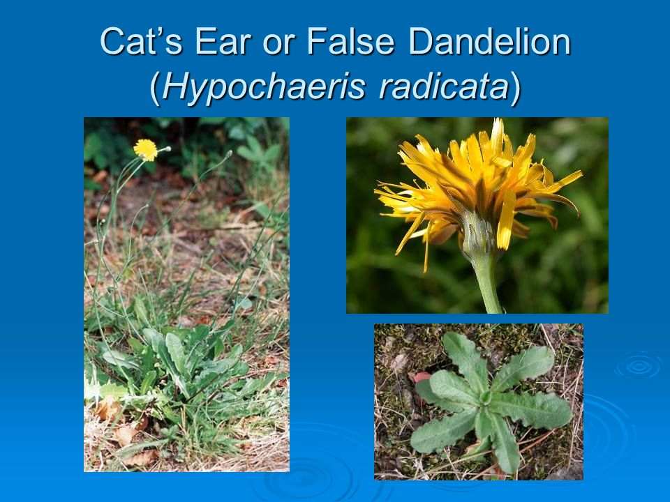 Cat's Ear or False Dandelion (Hypochaeris radicata)