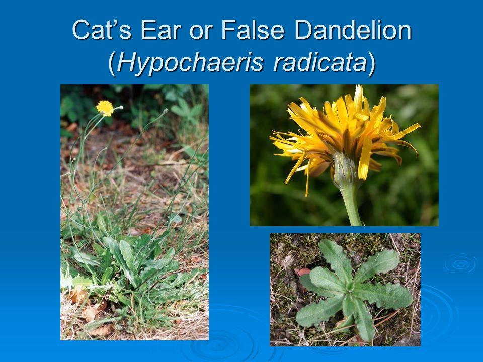 Cat's Ear or False Dandelion (Hypochaeris radicata)