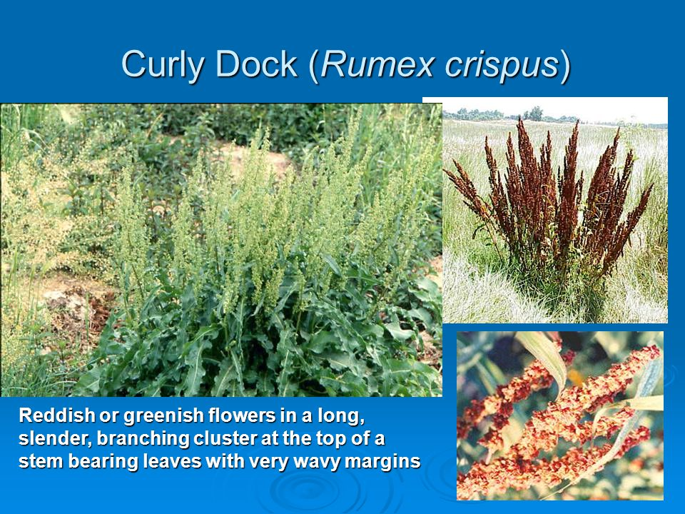 Curly Dock (Rumex crispus)