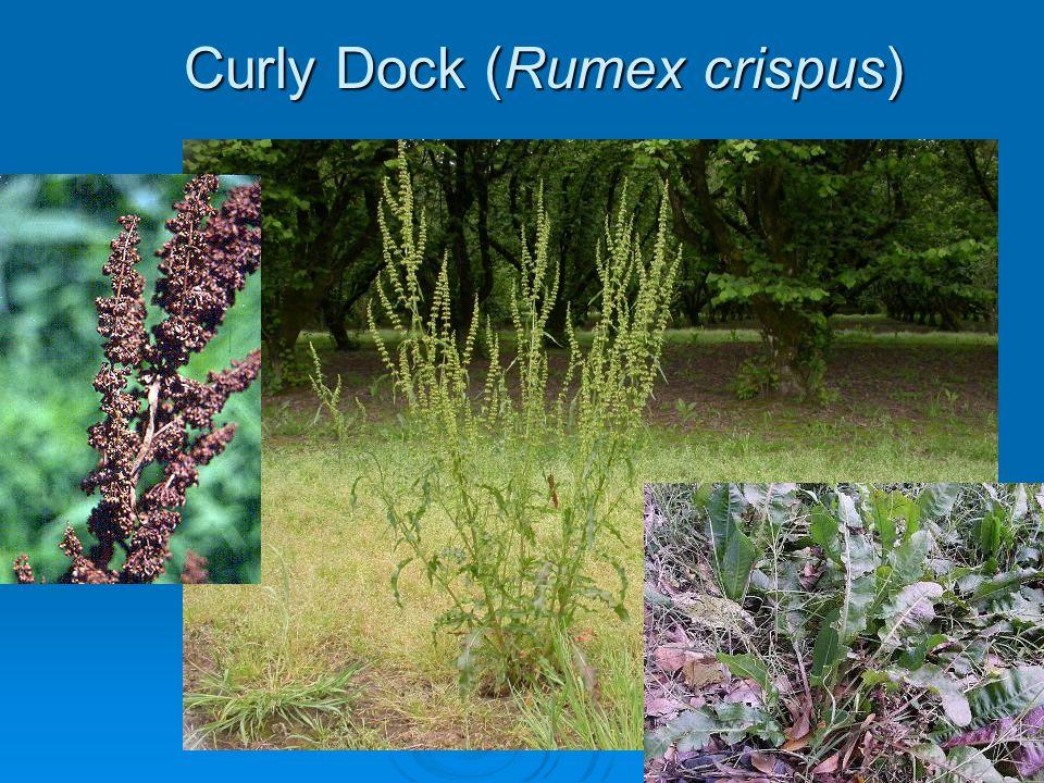 Curly Dock (Rumex crispus)