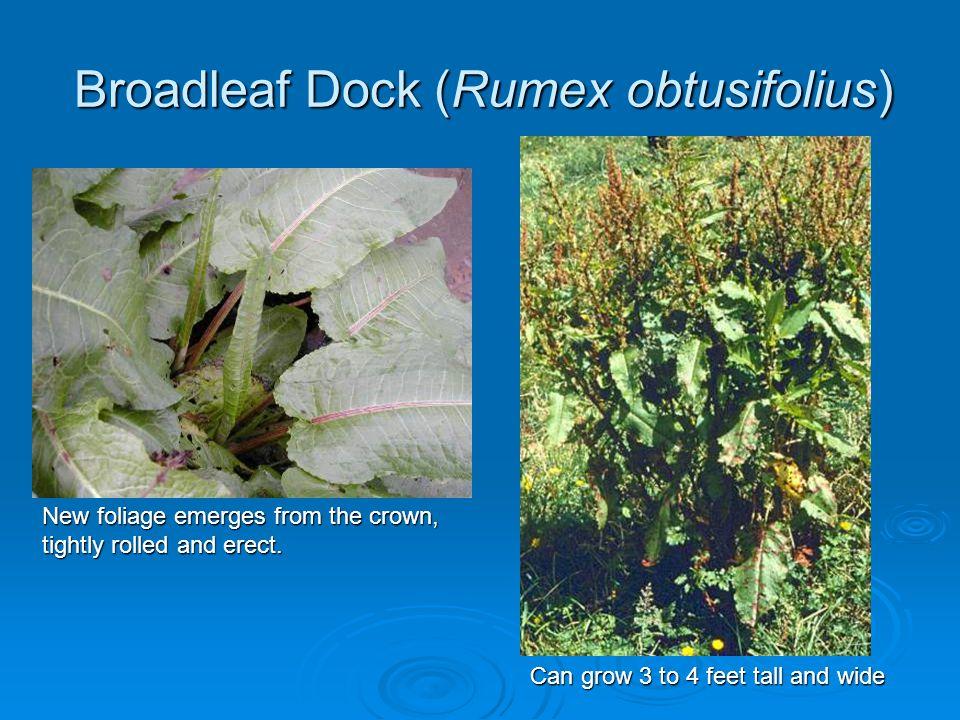Broadleaf Dock (Rumex obtusifolius)