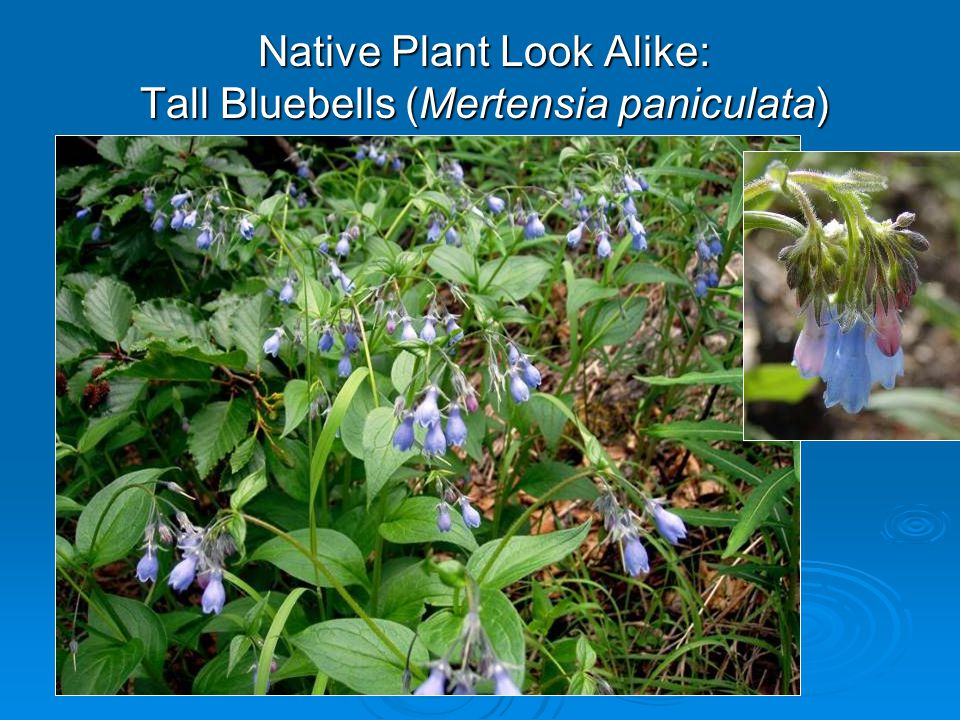 Native Plant Look Alike: Tall Bluebells (Mertensia paniculata)