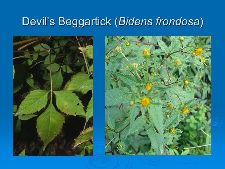 Devil's Beggartick (Bidens frondosa)